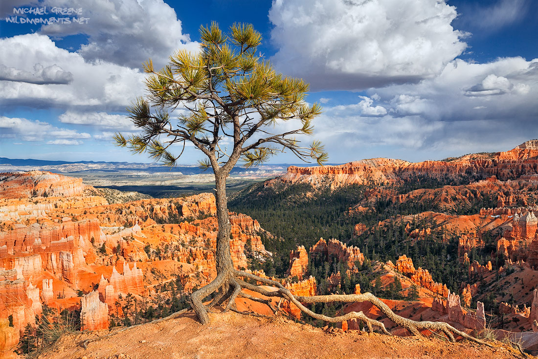 A weather tested pine tree thrives at the edge of Bryce Canyon and is adorned by dramatic clouds in Garfield County, UT.