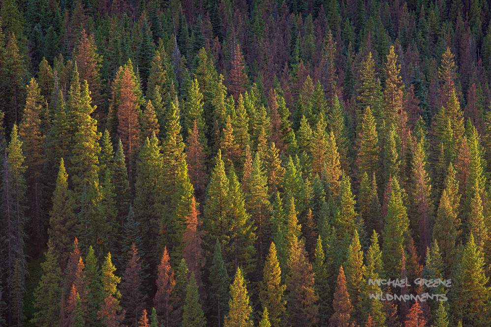 Storm light subtly illuminates a mountainside of conifers in varying stages of health allowing for the creation of a colorful...