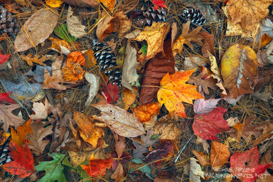 A variety of fallen leaves decorate the forest floor on the upper reaches of Jones Gap Trail near it's border with Caesars Head...