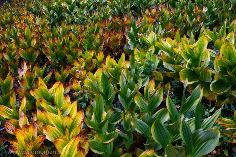 Corn lillies, also known as false hellebore are a poisonous plant located in the alpine environments of California, the Southwest...