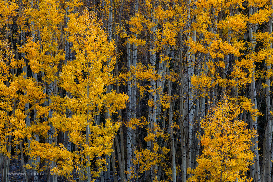 There is a type of joy evident in scenes like this. The vibrant color of aspen leaves decorate the scene like the confetti in...