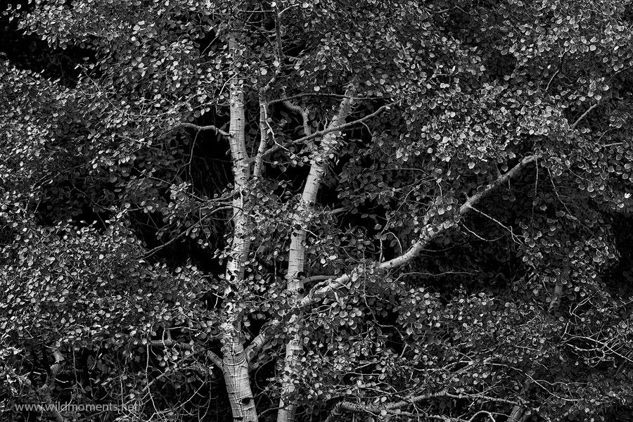 An eloquent aspen refuses to shed its leaves as the month of October progresses. A black and white interpretation helps to showcase...