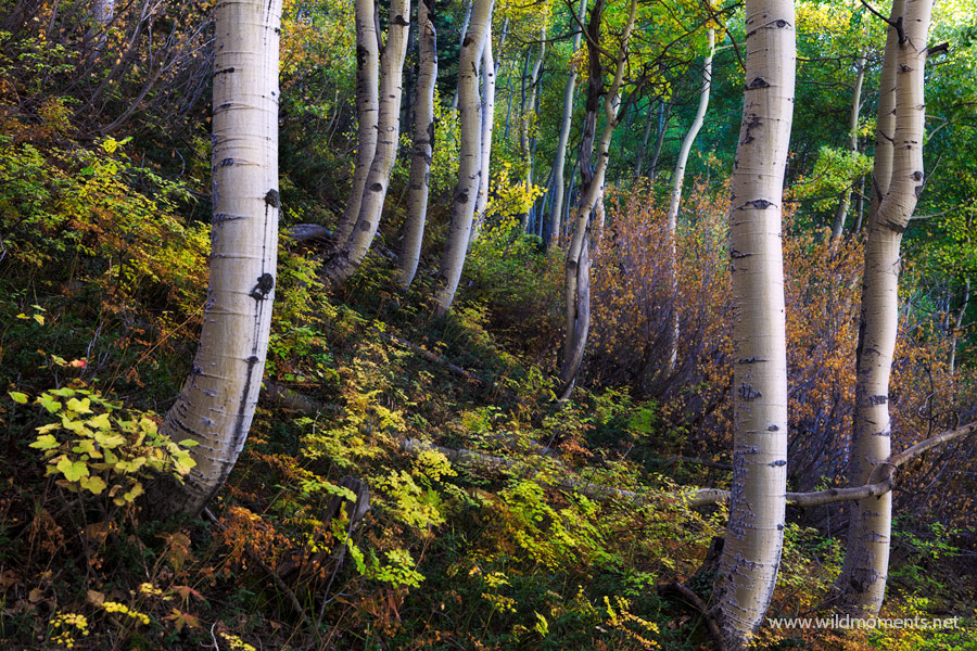 A spontaneous morning trip up the side of a steep mountain lead me to this beautiful micro scene of aspen trunks nestled in the...