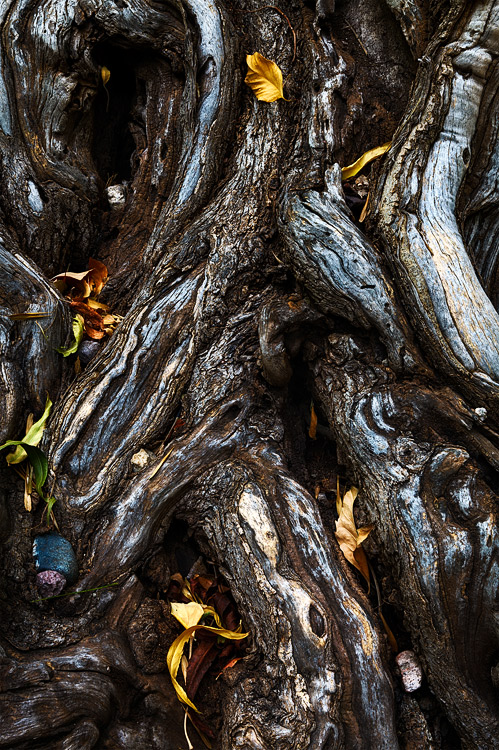An intricate examination of a gnarled and twisted treewith nestled rocks and decorated with fallen leaves. Captured in...