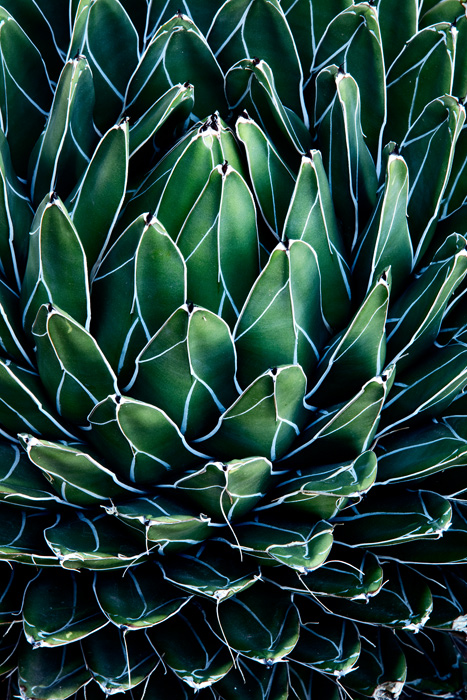 This image represents an up close and personal look at a small, healthy Agave parryi, also known as Parry's agave or mescal agave...