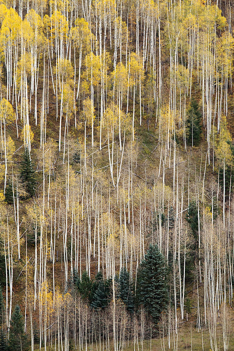 Bare and thinning aspen trees mixed with other conifersmake forintriguing and abstract compositions during the later...