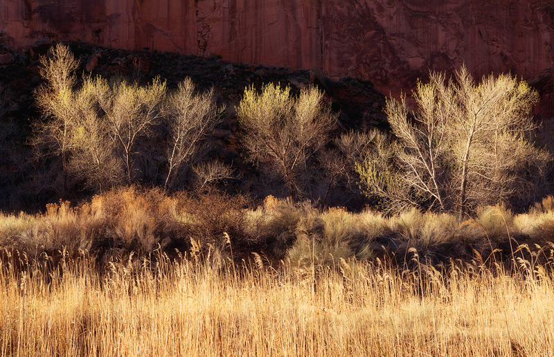 Backlight illuminates these creekside cottonwood trees just starting to bud during the spring. This image was captured in the...