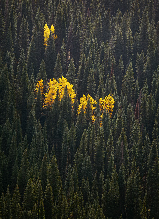 Anafternoon rainstorm accentuates the autumn colors of cottonwood trees amidsta forest of lodgepole pine, white spruce...