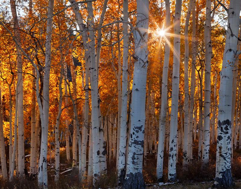 Sun beams burst through a small grove of golden aspen trees near the Dallas Divide shortly after sunrise.