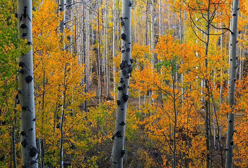 A rare glimpse past a wall of leaves into a forest of aspen trees captured during peak fall conditions with absolutely no wind...