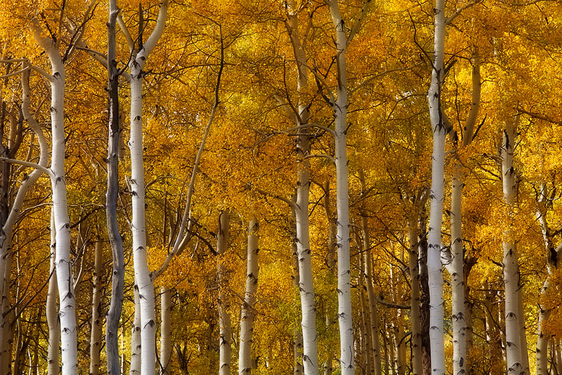 Dappled light illuminates a canopy of golden aspen leaves amidst a network of branches in Southwestern CO during the fall. Sadly...