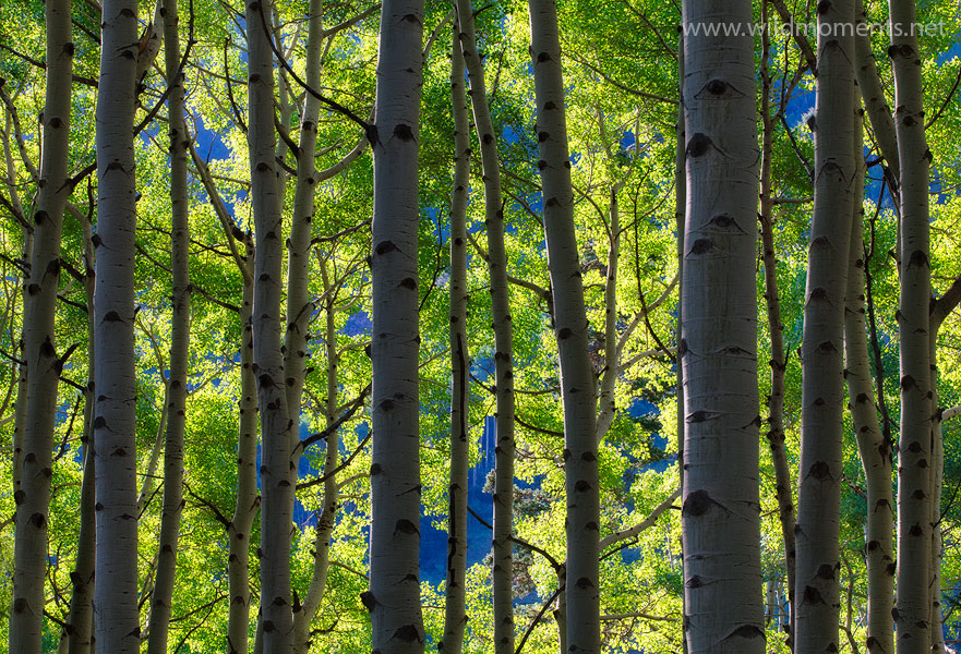 Morning light filters through a majestic stand of aspen trees in the Uncompahgre Wilderness.