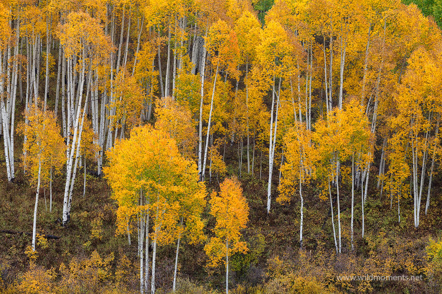Probably the best display of golden aspen color that I witnessed during my 2014 autumn visit captured in the heart of the Gunnison...