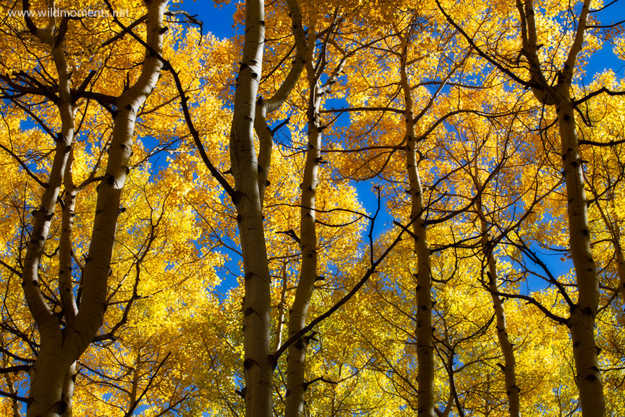 After discovering this group of aspen trees earlier in the summer I returned to this location several times to capture during...