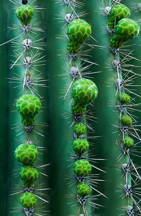 Saguaro cactus bulbs ready to burst during a prolific spring bloom. I was attracted to the round blooms on the linear cactus...