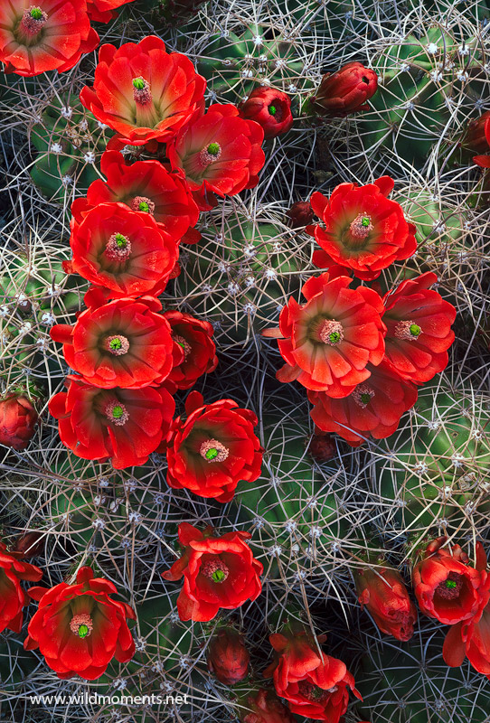 This was the only claret cup cactus that I found in bloom during my four days in the California park in late March. It was wedged...