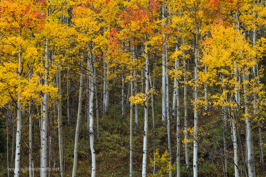 One of the many intimate views of lovely stands of red and golden aspen on Ohio Creek Road located between Gunnison and Crested...