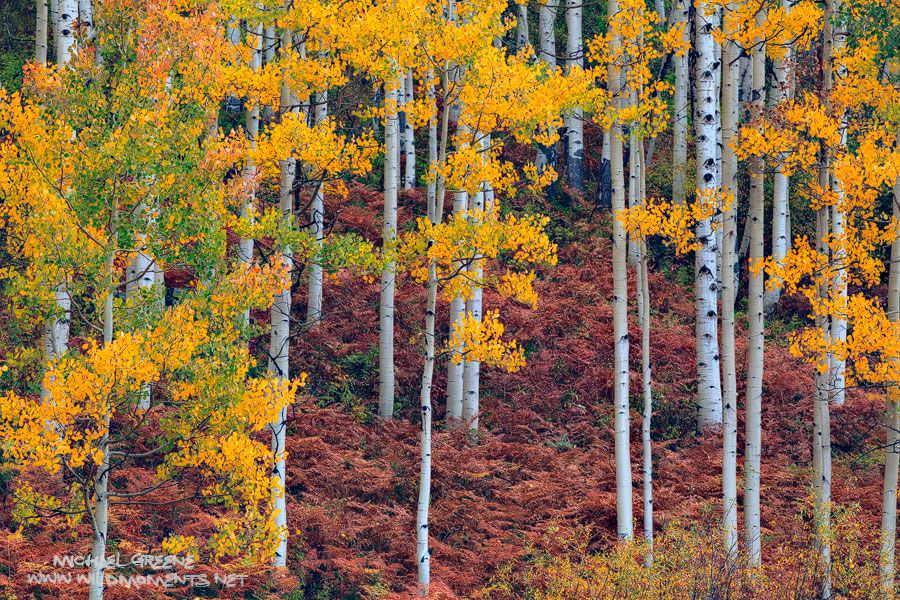 A magnificent display of fern color accentuates the lovely patterns of a golden aspen forest near Ohio Creek Road outside of...