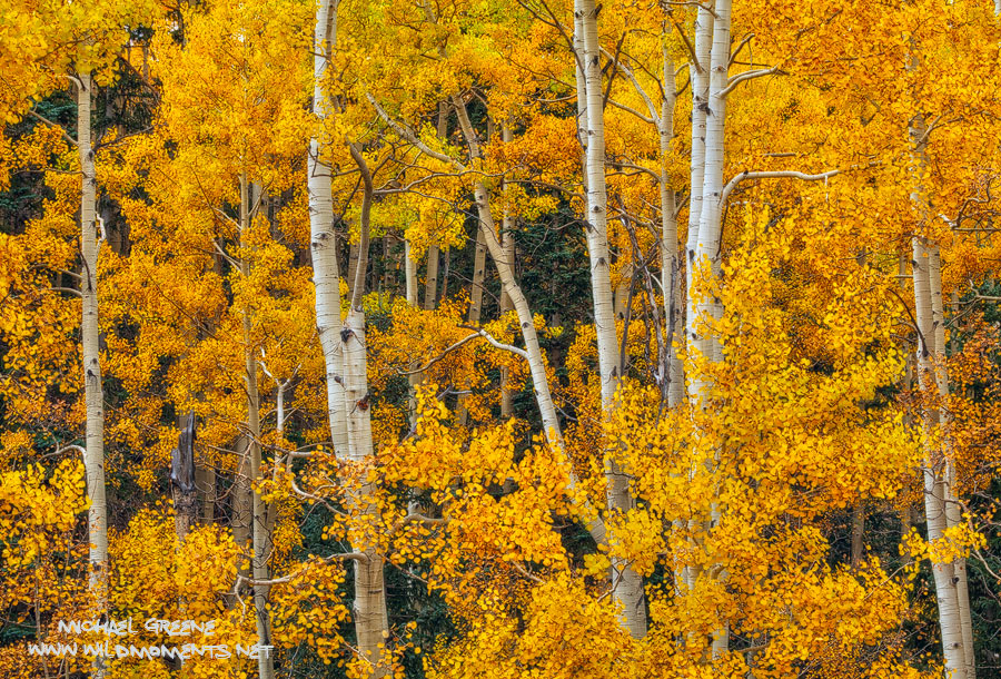 Dramatic, golden foliage of aspen trees form a tight canopy in the high mountains of Lockett Meadow near Flagstaff, Arizona....