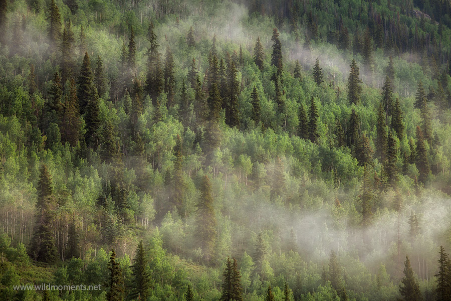 Low lying fog dances through the aspen lined forests of the San Juan Mountains near Silverton, CO.