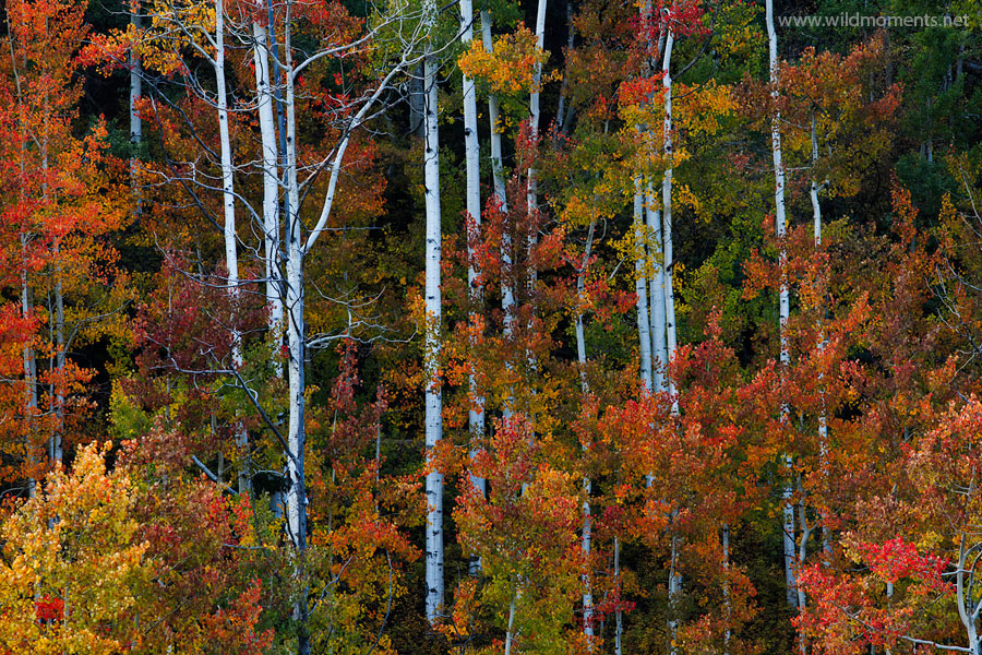 Definitely the most colorful and awe striking color amongst aspens I witnessed on my 2013 autumn Colorado trip. I would have...