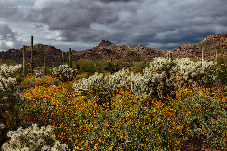 Ominous storm clouds compliment a flower foreground of brittle bush and cholla cacti in Southern AZ.