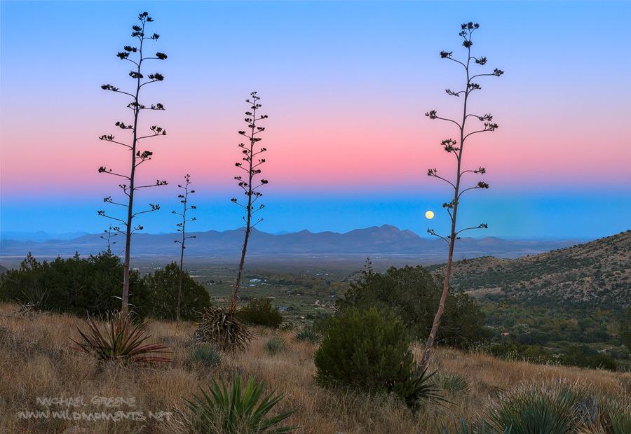 Century plants dot the horizon as a full moon rises over the Pelonchillo Mountains and the San Simon Valley in far southeastern...