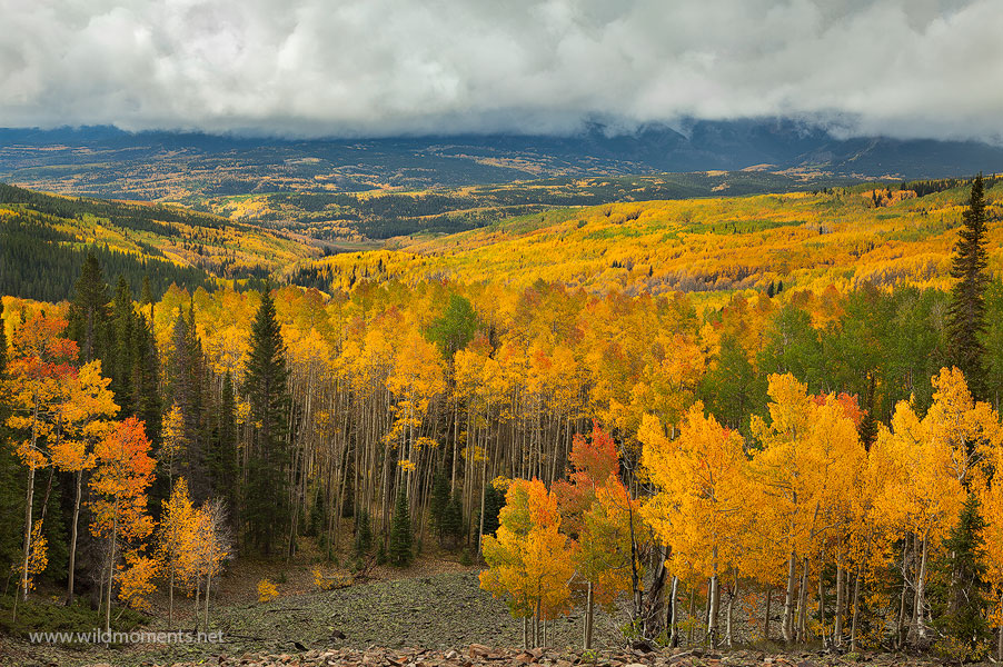 A dramatic late morning view of the incredible fall colors of the Gunnison National Forest as storm clouds quickly moved into...