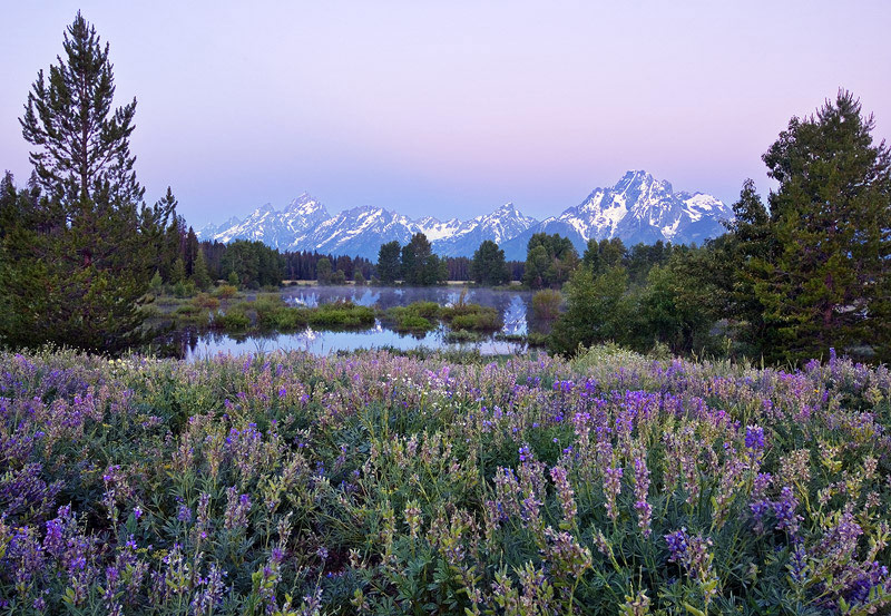 A meadow of lupines frames this marshy view of theTeton mountainson a perfectly still, damp, dawn twilight.
