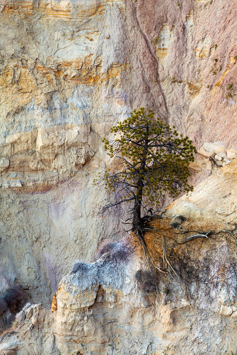 A solitaire tree miraculouslygrows on the pink cliffs of Bryce Canyon'sbackcountry walls.