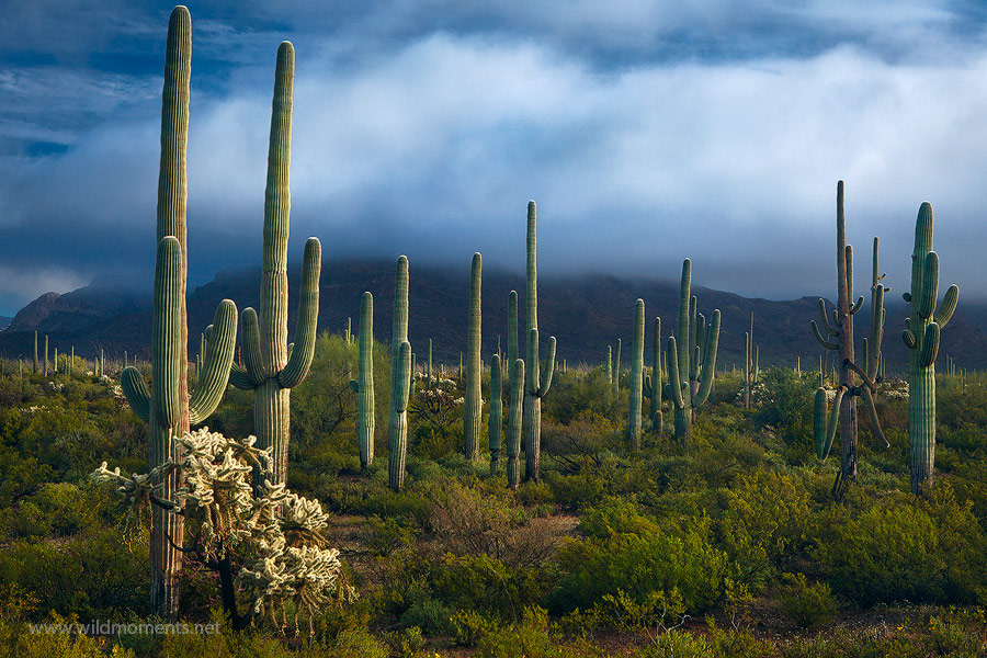 Dappled side light dresses a stately stand of saguaro cacti in southern AZ on a stormy morning.