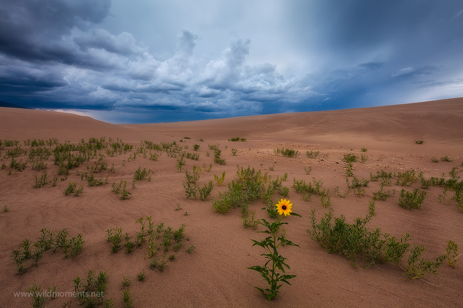 A solitary sunflower stands in stark contrast to the ferocious skies in Great Sand Dunes National Park as a summer monsoon storm...
