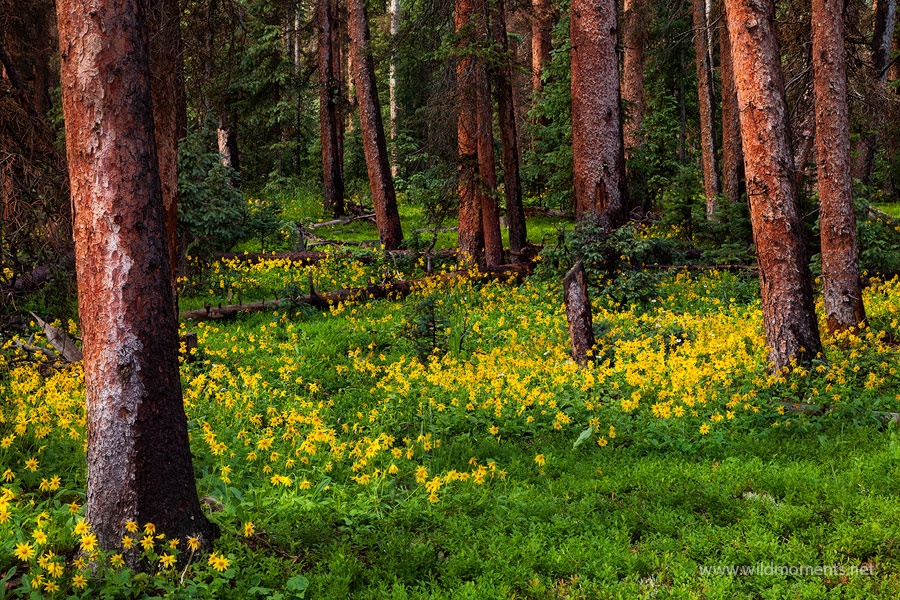 A festive scene of summer wildflowers decorate the forest near Slumgollion Pass. Captured while driving from Crede to Lake City...