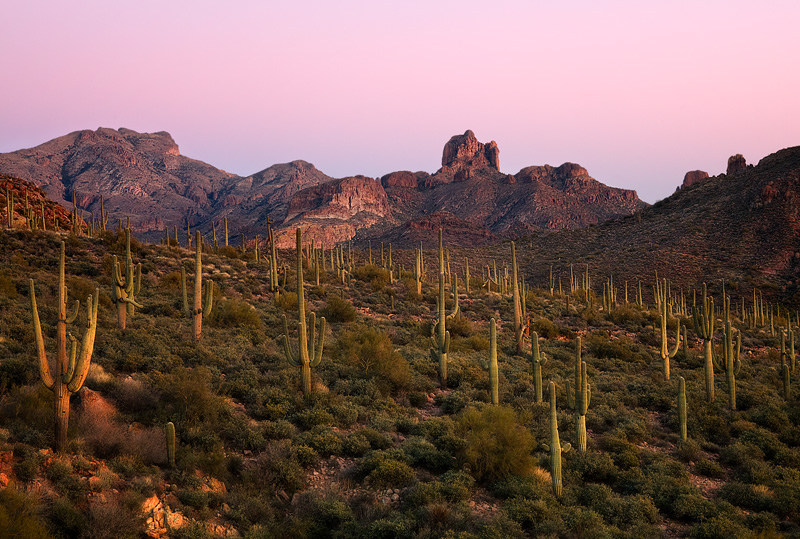 A healthy and robust population of saguaro cacti direct the way to the Picacho Butte (4,294 ft). This image was captured at twilight...