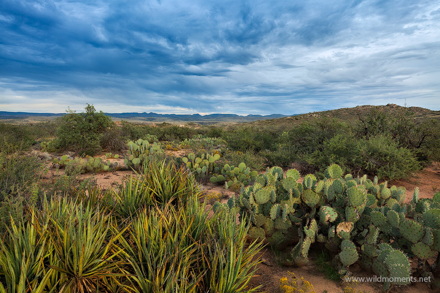 A variety of cacti including the prickly pear cactus lead the viewers' eye into the foreboding horizon of a remote portion of...