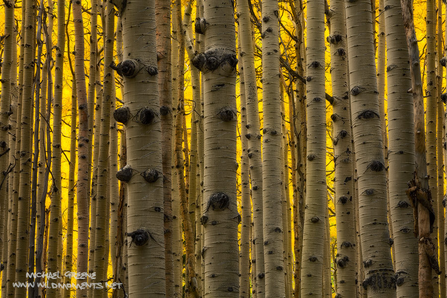 Some of the tallest and thickest aspen I've seen captured near Flagstaff, AZ in the Kachina Peaks Wilderness, which is part of...