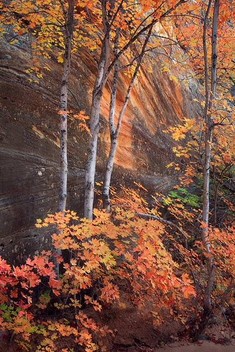 Prolific fall colors of several small, big tooth maples are revealed here in a deep gully in the Zion National Park's eastern...